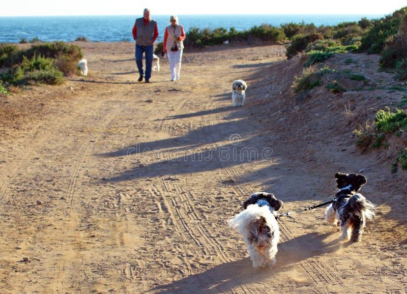 Deux chiens de Shih Tzu attachés avec une laisse fonctionnant seuls images stock