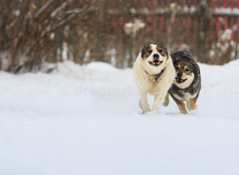 Deux chiens drôles fonctionnent heureusement au-dessus de la neige blanche image libre de droits