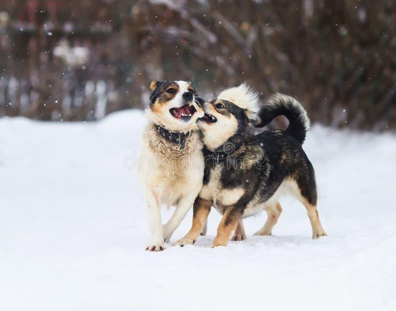 Deux chiens drôles fonctionnent heureusement au-dessus de la neige blanche photographie stock libre de droits