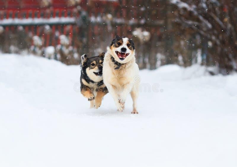 Deux chiens drôles fonctionnent heureusement au-dessus de la neige blanche photos stock