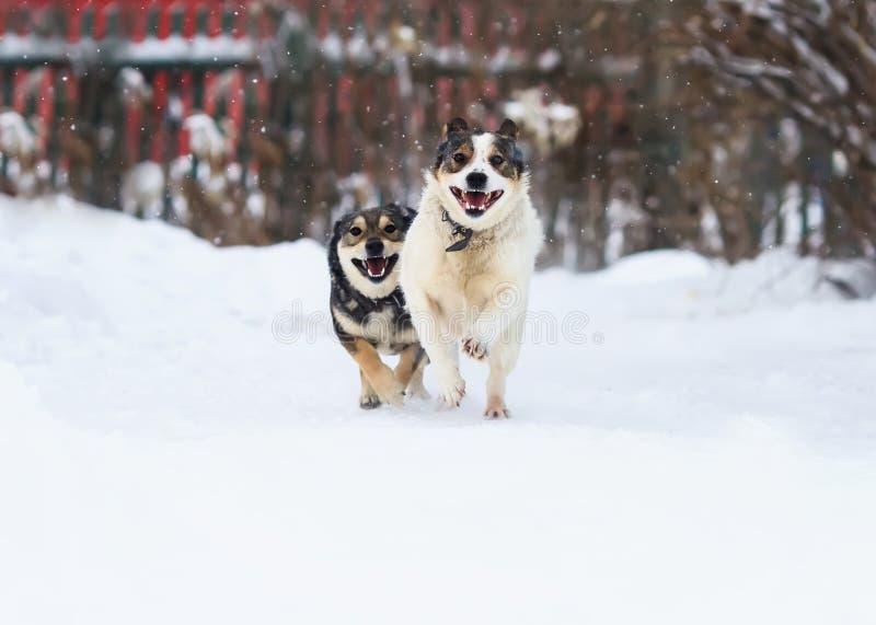 Deux chiens drôles fonctionnent heureusement au-dessus de la neige blanche photos libres de droits
