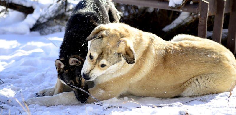 Deux chiens jouant dans la neige photos stock