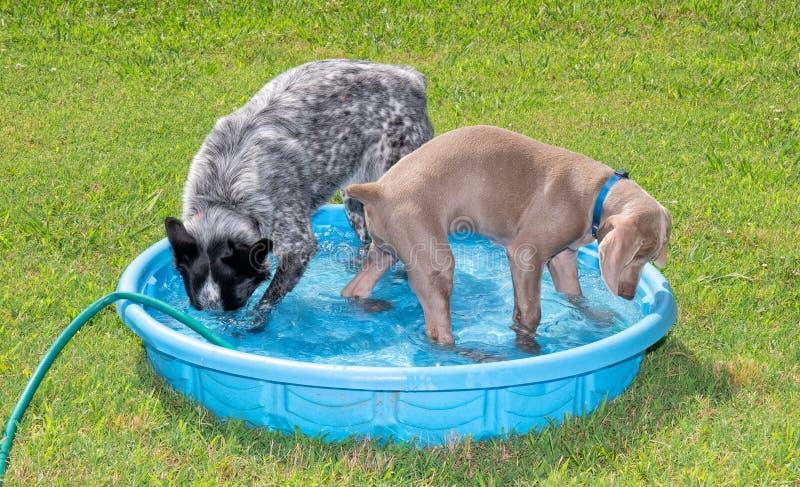 Deux chiens jouant dans une piscine de kiddie images stock