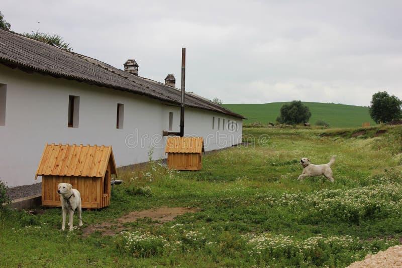 Deux chiens loués aux établissements s'approchent de la maison de ferme photographie stock
