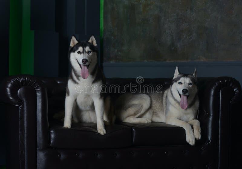 Deux chiens luxueux sur un divan luxueux photographie stock libre de droits