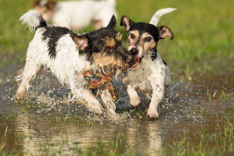 Deux chiens mignons de Jack Russell Terrier jouant et combattant avec une boule dans un magma de l'eau pendant l'hiver snowless images stock