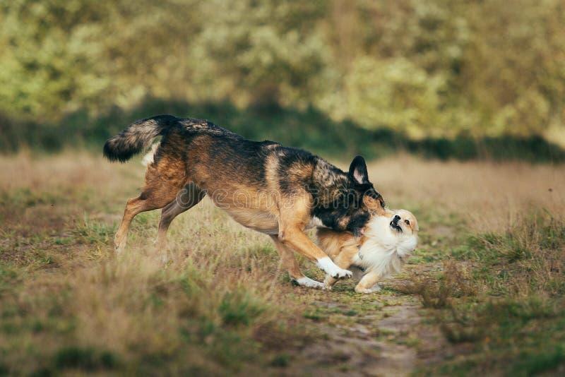 Deux chiens mignons, peu de spitz pomeranian, et grand chien métis marchant sur un champ dans le jour d'été photo libre de droits