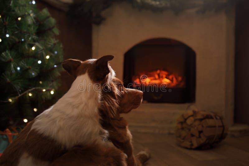 Deux chiens par la cheminée Jack Russell Terrier et Nova Scotia image stock