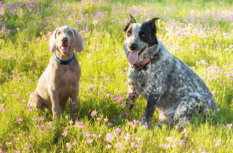 Deux chiens se reposant sur un pré fleuri photos libres de droits