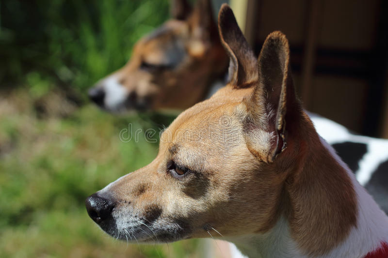Deux chiens tenant ensemble des terriers de Russell de cric photo stock