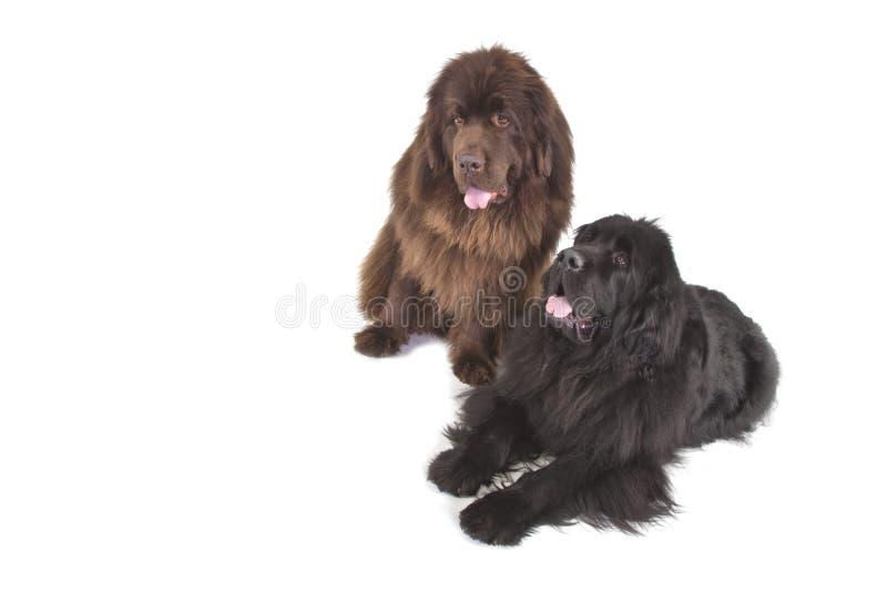Deux chiens terriers de Terre-Neuve photographie stock