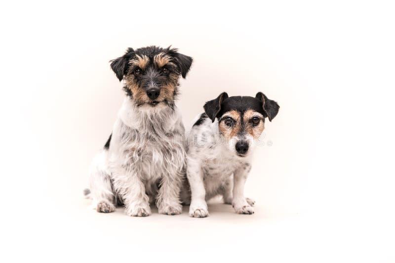 Deux chiens tricolores se reposent devant le fond blanc Petit paquet de chienchiens de Jack Russell Terrier image libre de droits