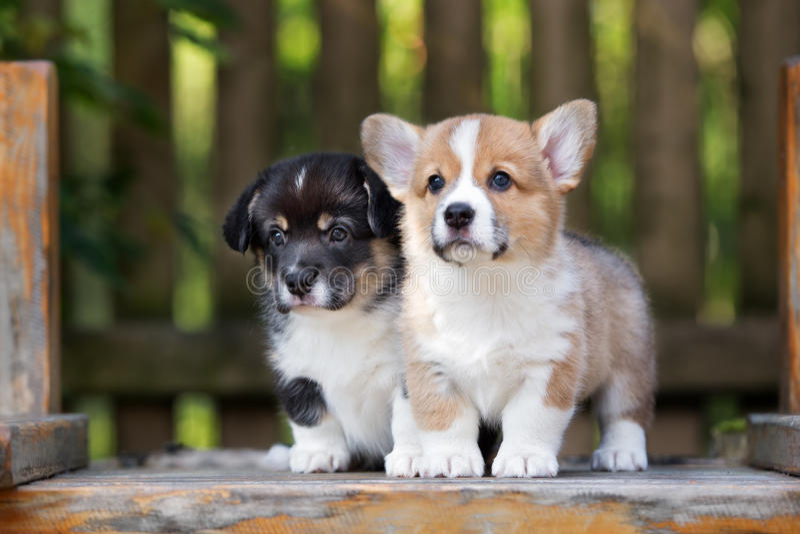 Deux chiots adorables de corgi de gallois photographie stock libre de droits