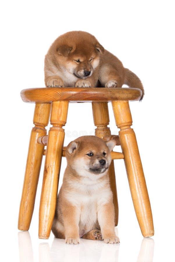 deux chiots d'inu de shiba avec une chaise photographie stock libre de droits