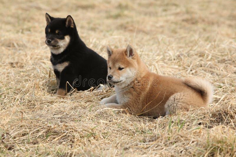 Deux chiots d'inu de Shiba ensemble images stock