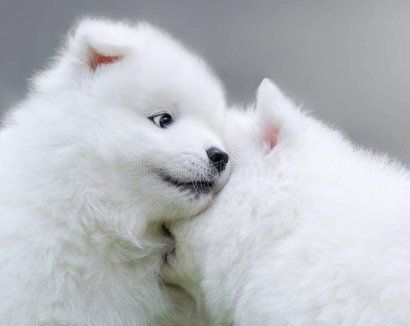 Deux chiots de chien de Samoyed images libres de droits