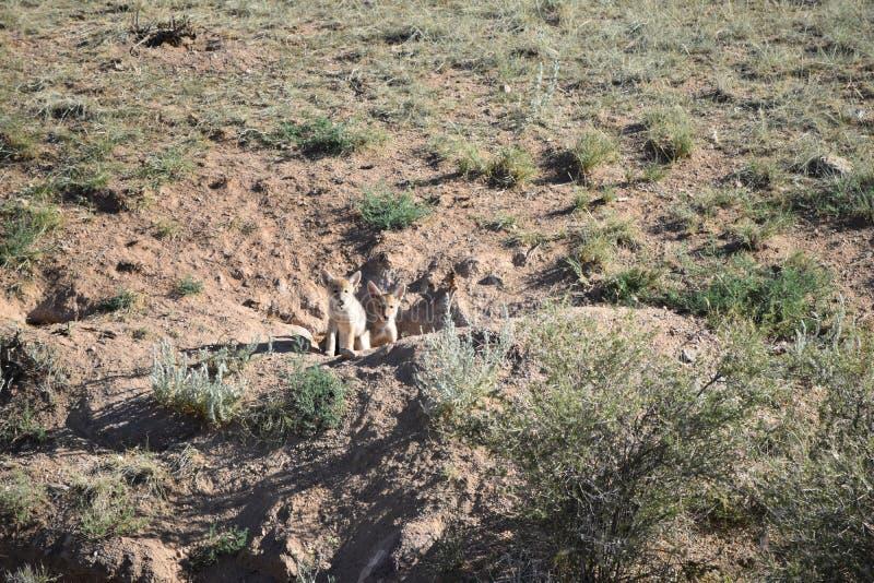 Deux 2 chiots de coyote photos libres de droits
