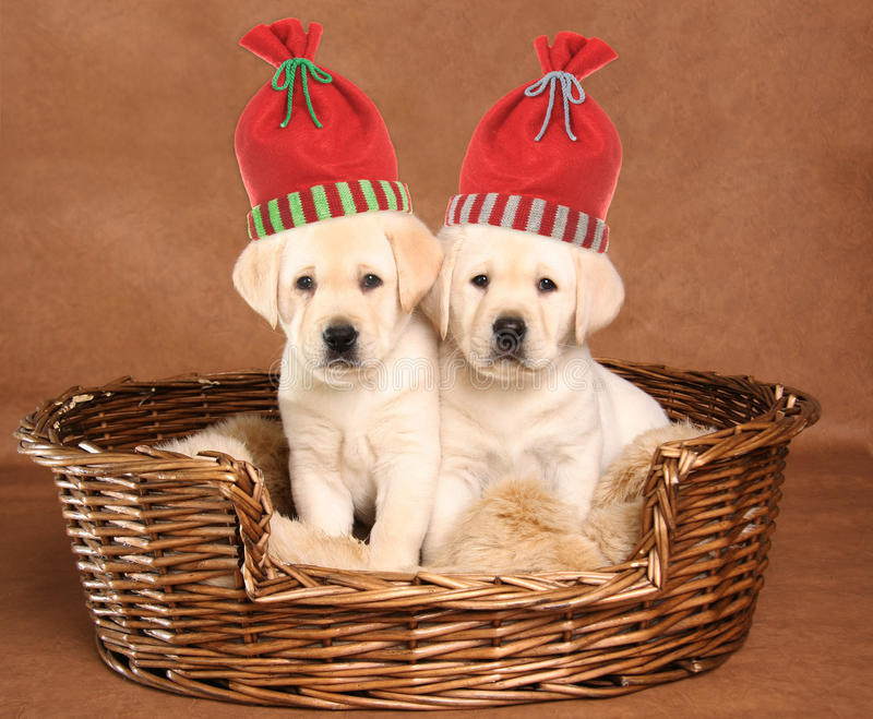 Deux chiots de Noël photos libres de droits