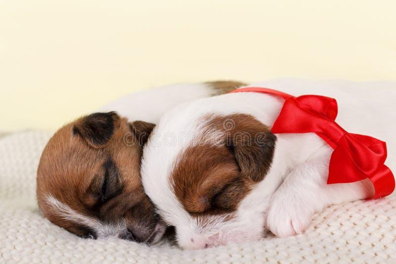 Deux chiots mignons de sommeil image stock