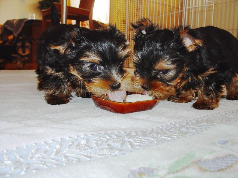 Deux chiots mignons de terrier de Yorkshire mangeant du lait Beaux milieux photographie stock