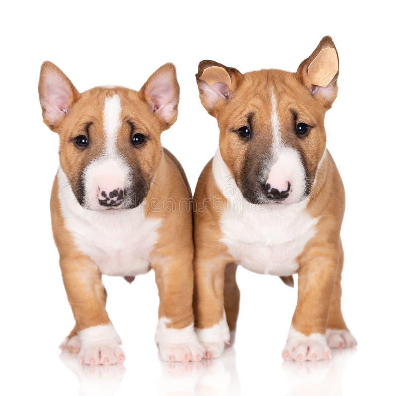 Deux chiots miniatures de bull-terrier sur le fond blanc images libres de droits