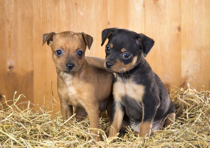 Deux chiots russes de Terrier de jouet image libre de droits