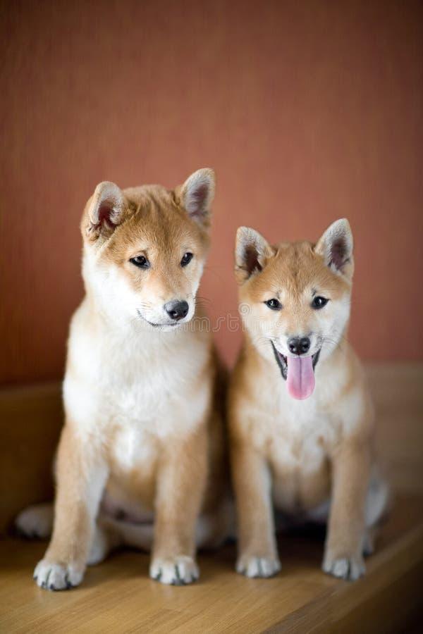 Deux chiots Shiba Inu images stock
