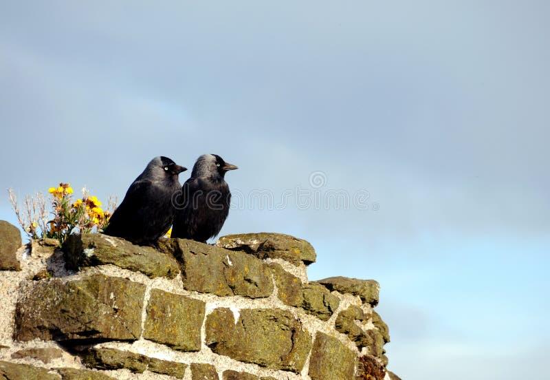 Deux choucas sur le château de Conwy photo stock