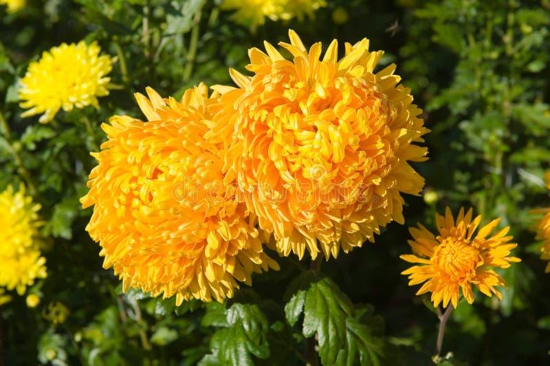 Deux chrysanthemums jaunes photo stock