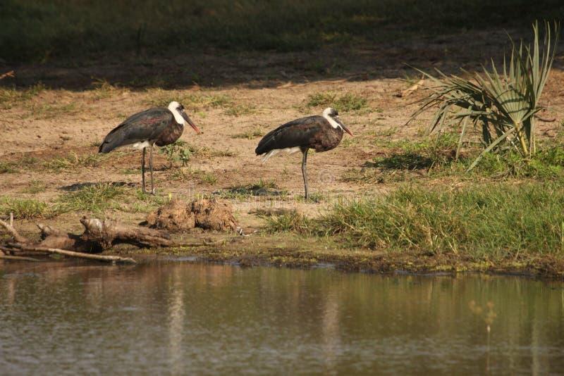 Deux cigognes floconneux-étranglées à un abreuvoir image libre de droits