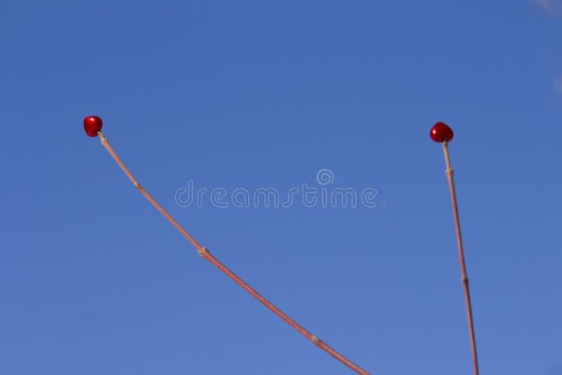 Deux coeurs rouges sur une branche Fond de ciel bleu image libre de droits