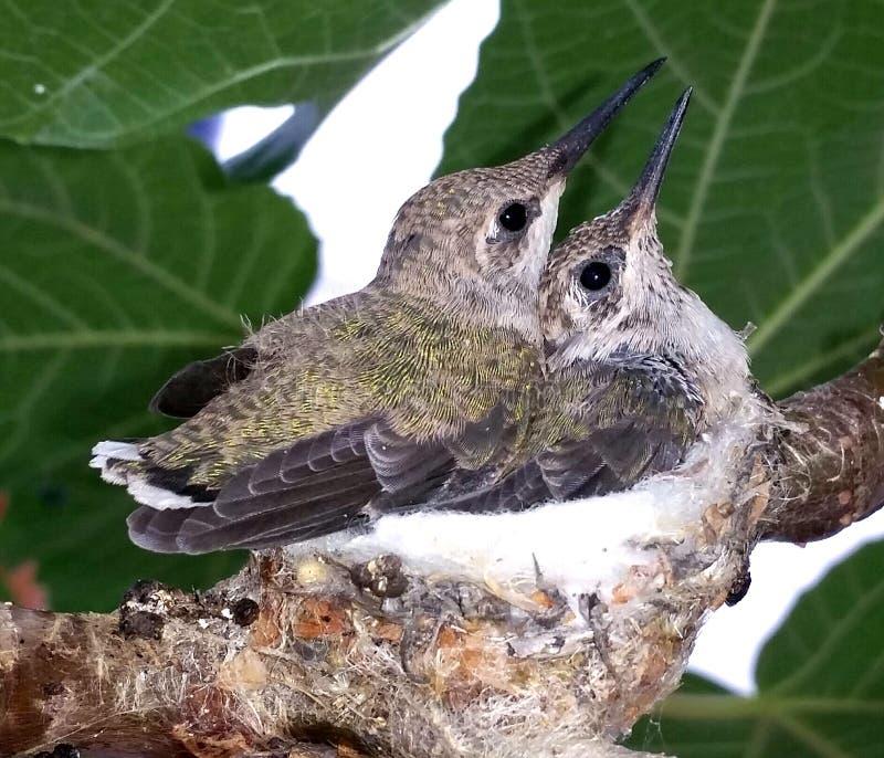 Deux colibris de bébé photo stock