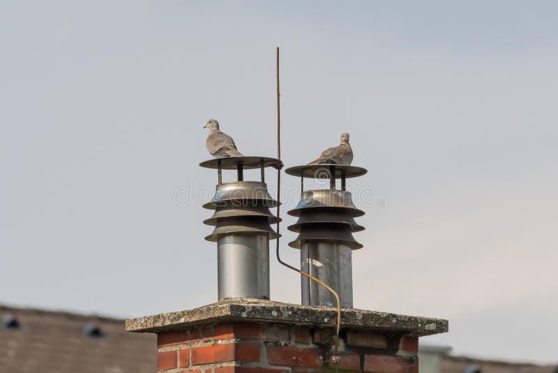 Deux colombes colletées eurasiennes se reposant sur une cheminée photographie stock libre de droits