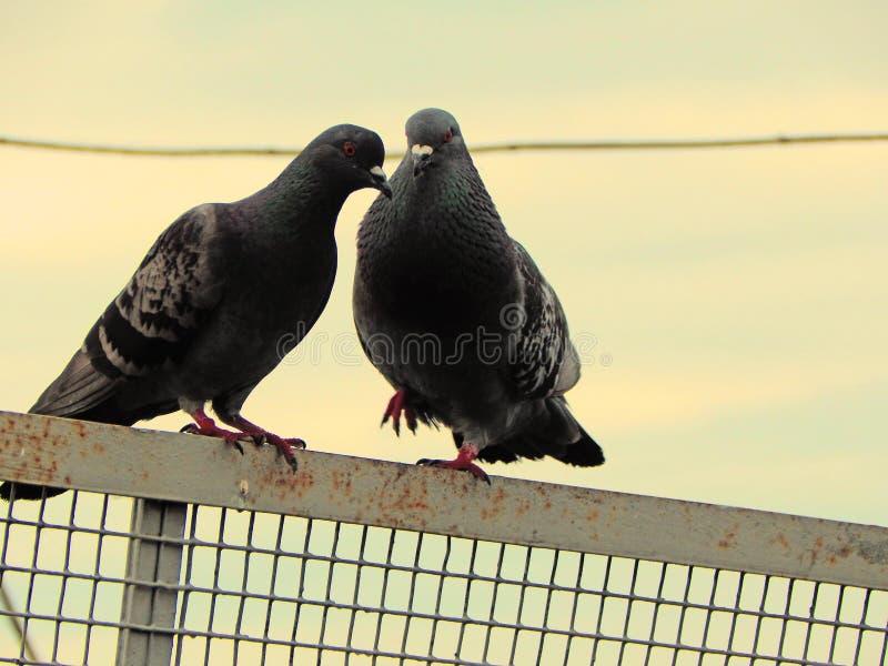 Deux colombes communiquent et se reposent sur la barrière un jour nuageux photos libres de droits