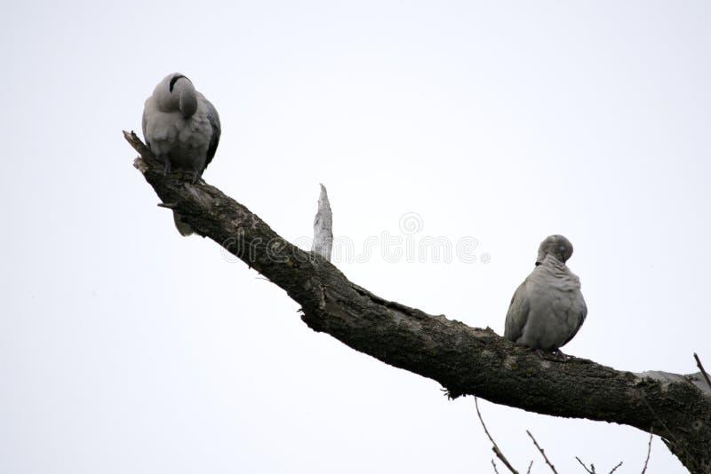 Deux colombes de tortue reposent sur des branches d'un arbre sec photo stock