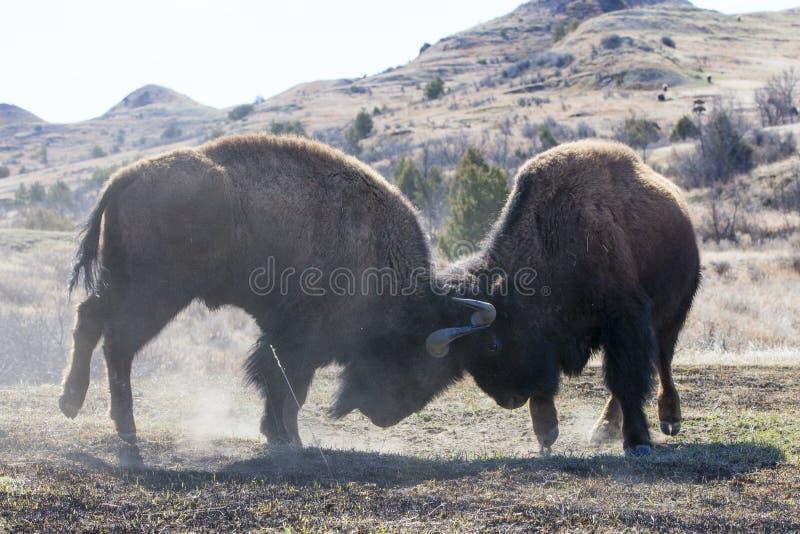 Deux combats de buffle de taureau image stock