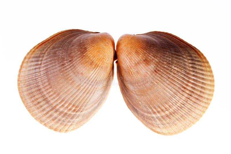 Download Deux Coquilles De Mer De Mollusque D'isolement Sur Le Fond Blanc Photo stock - Image du shell, écosystème: 87709586