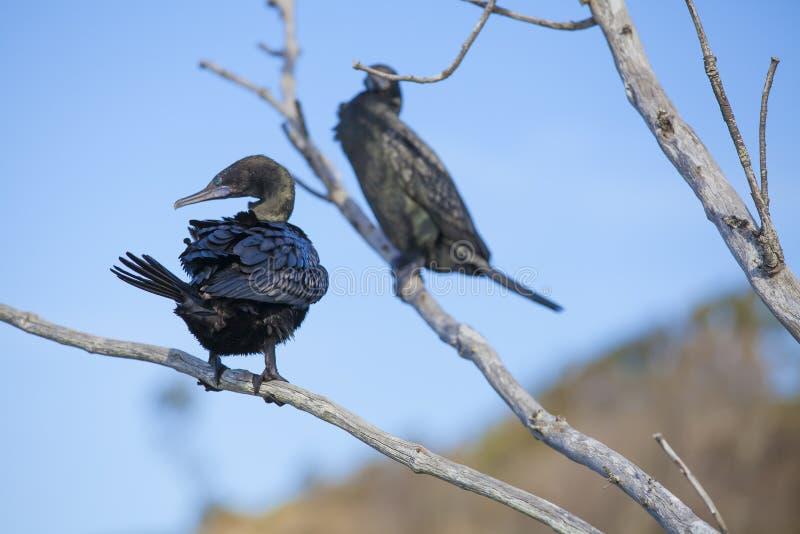 Deux cormorans dans un arbre photographie stock libre de droits