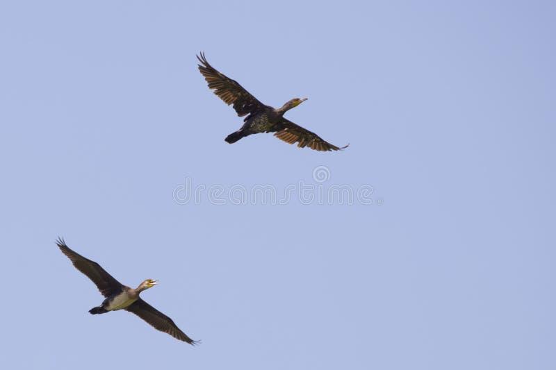 Deux cormorans tout en volant photographie stock