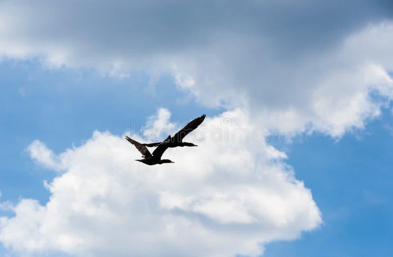 Deux cormorans volant sous des cumulus photographie stock libre de droits