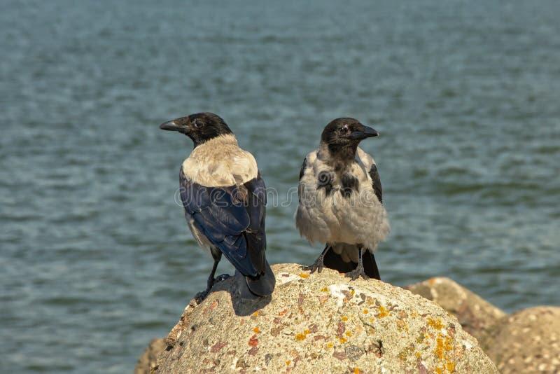 Deux corneilles à capuchon - cornix de Corvus photographie stock