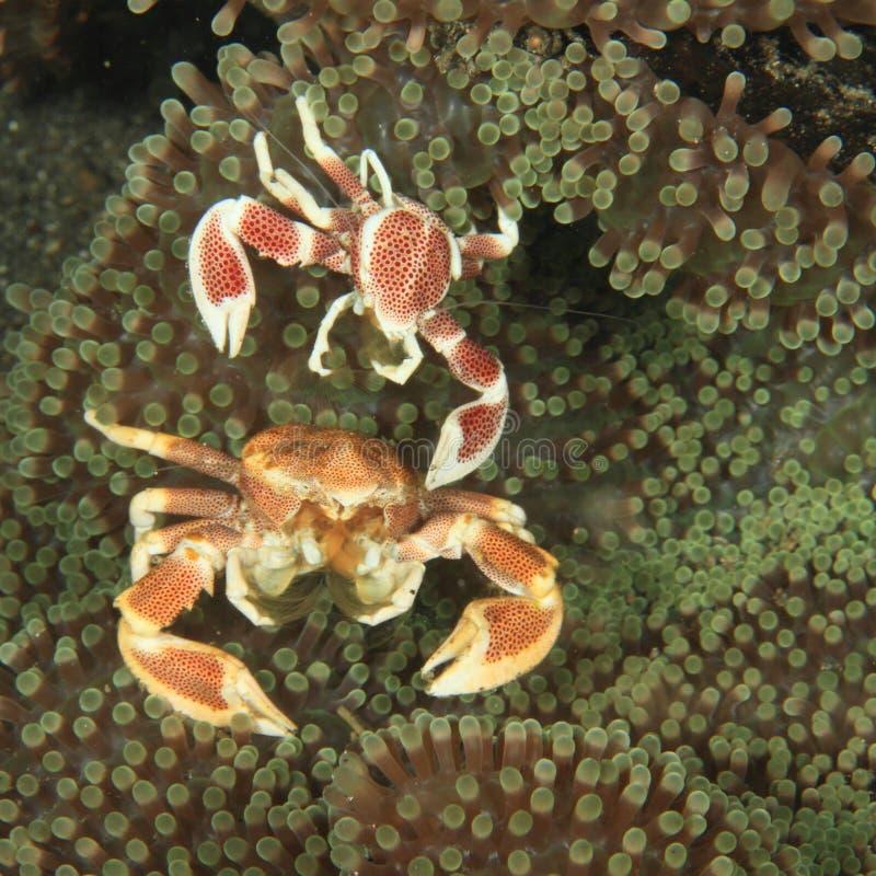 Deux crabes de porcelaine photo stock