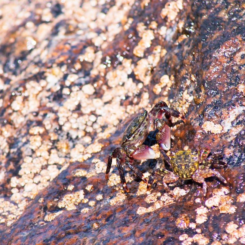Deux crabes enragés se reposant sur une roche à la plage photos libres de droits