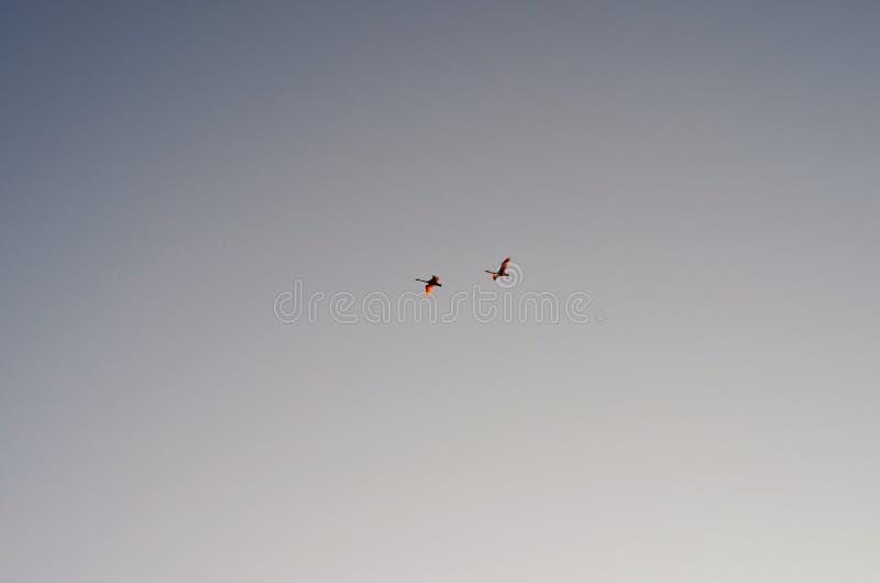 Deux cygnes photos libres de droits