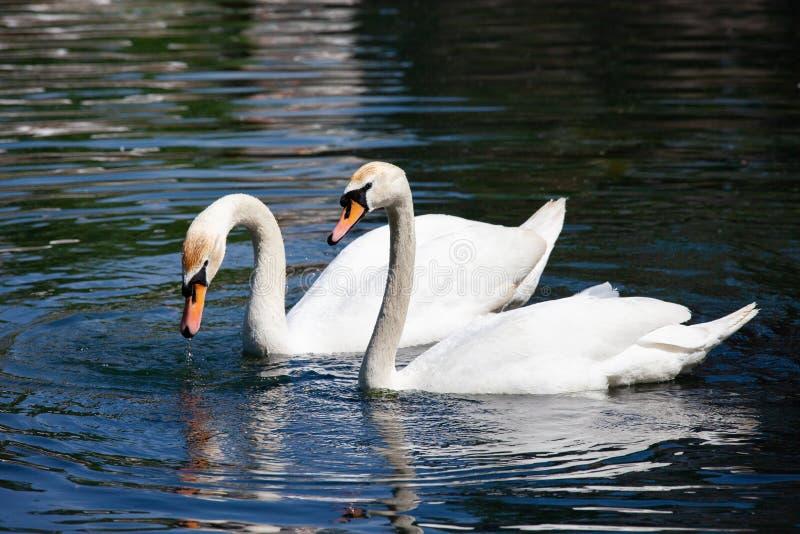 Deux cygnes blancs sur l'eau photographie stock libre de droits