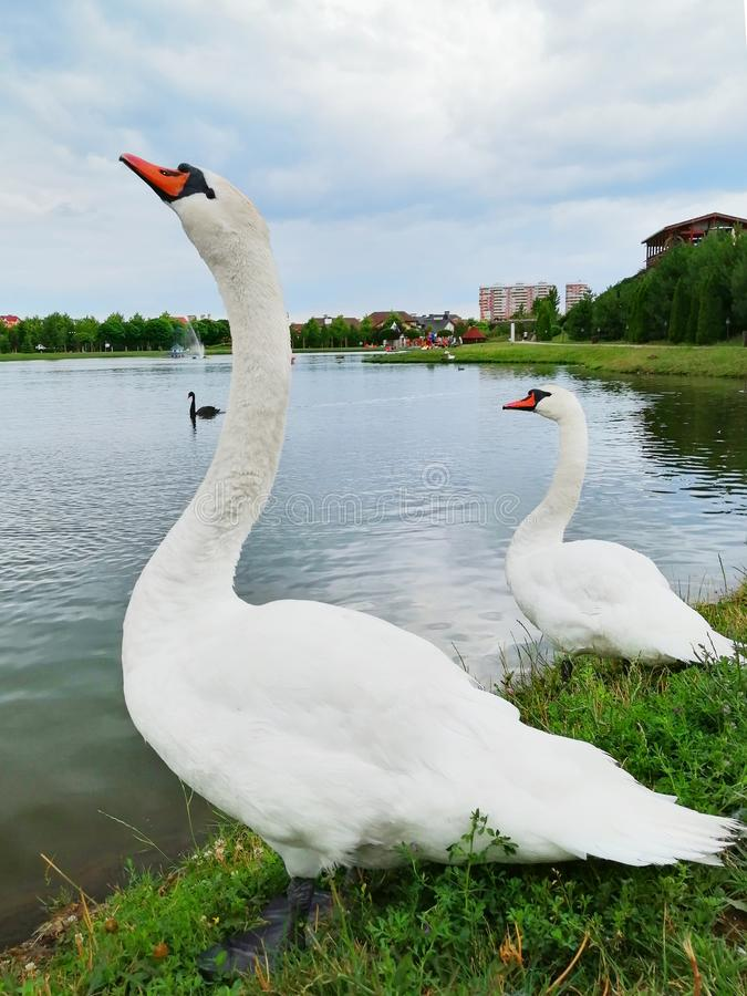 Deux cygnes blancs sur le lac photo stock