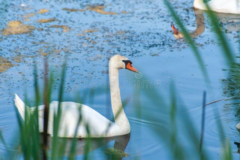 Deux cygnes blancs - un vrai et un une réflexion du second sur l'eau bleue avec les roseaux brouillés sur l'avant images stock
