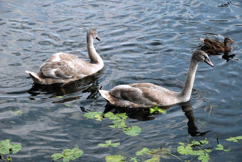 Deux cygnes et un canard sur l'eau photo stock