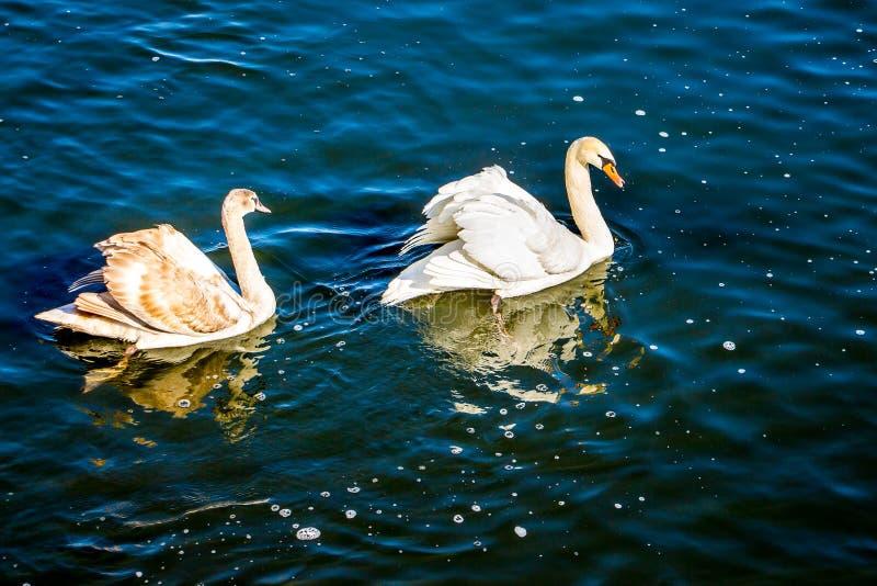 Deux cygnes nagent dans l'eau foncée, réflexion des oiseaux dans le water_ images libres de droits