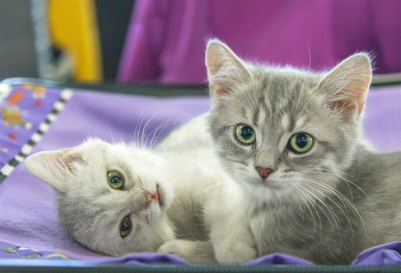 Deux droits écossais de petit chaton photo libre de droits